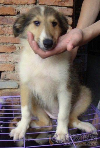 温州出售三色黑白苏格兰牧羊犬包疫苗驱虫