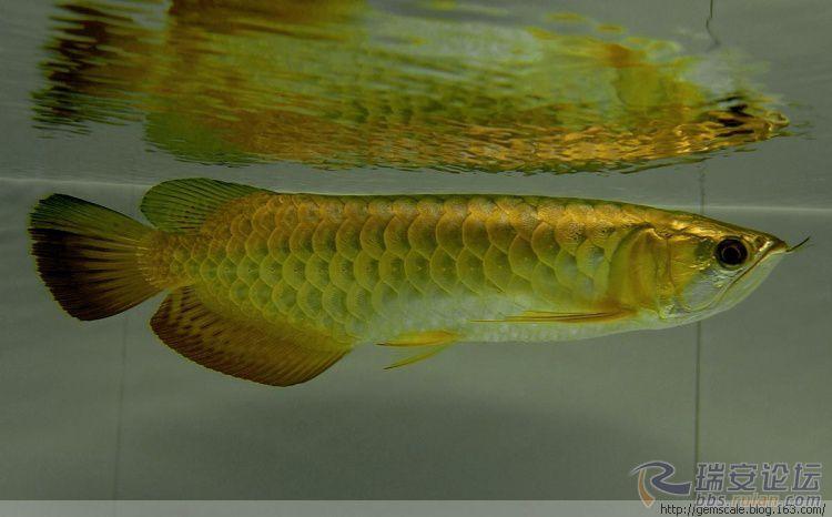 龙鱼能和七彩混养吗